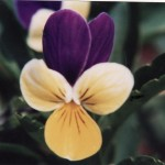 spiritual Habundia flower essences
