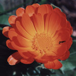 Marigold flower - example of general Habundia flower essences